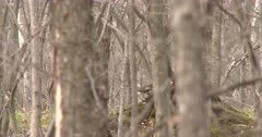 Ruffed Grouse Visible Through Stand of Trees, Turns. Exits