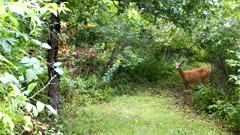 White-tailed Deer, Doe, Enters Wooded Glade, Looks