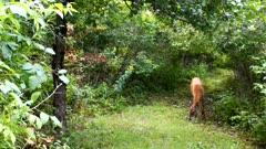 White-tailed Deer, Doe Walking, Sniffs Ground, Looks