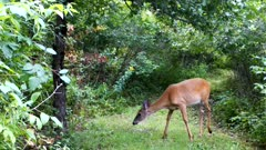 White-tailed Deer, Doe Sniffing Ground, Turns, Looks, Exits