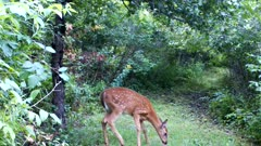 White-tailed Deer, Fawn, Looks Back, Sniffs Ground