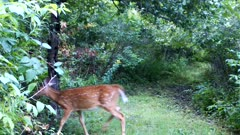 White-tailed Deer,Fawn Feeding on Apples, Exits