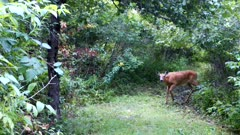Thin White-tailed Deer, Doe, Enters Wooded Glade, Looks, Listens, Cautious