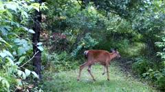 White-tailed Deer, Doe Peeking From Behind Tree, Exits Nervous, Looks Back Again