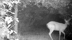 White-tailed Deer, Doe Feeding on Apples At Night, Jumps, Startled, Then Looks Off Frame
