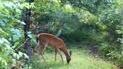 White-tailed Deer, Doe Feeding on Apple, Takes Bite, Looks At Camera, Chewing