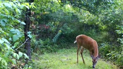 White-tailed Deer, Doe Enters Scene, Sniffing Ground, Walking, Looking For Apples