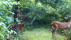 White-tailed Deer, Doe Feeding, Fawn Hiding in Brush on L, Steps Out, Nervous, Looks Toward Camera