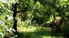 Sunlight Dappled Woods, White-tailed Deer, Doe Feeding on Apples.