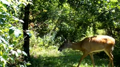 White-tailed Deer, Doe Covered With Biting Flies, Walks Into Brush