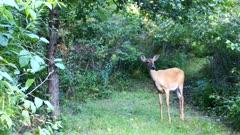 White-tailed Deer, Doe Begins Feeding On Apple On Ground
