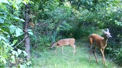 White-tailed Deer, Doe and Fawn, Feeding Beneath Apple Tree