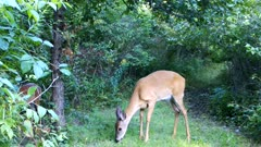 White-tailed Deer, Doe Feeding On Large Apple, Finally Picks Up Apple and Chews, Facing Camera