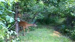 White-tailed Deer, Doe Feeding, Turns, Stares Hard Into Brush, Cautious