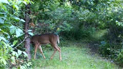 White-tailed Deer, Doe Standing Behind Tree, Looks Out, Walks into Brush