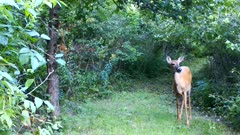 White-tailed Deer, Doe With Large Apple in Mouth, Stares Off to R of Frame