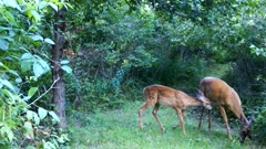White-tailed Deer, Doe Feeding On Apples, Fawn Joins