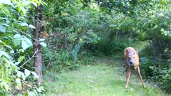 White-tailed Deer, Doe Reaches Into Brush, Brings Out Large Apple to Feed on, Fawn Exits