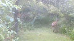 White-tailed Deer, Very Startled Doe Runs off in Fog