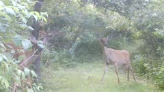 Two White-tailed Deer, Does, One Feeding, One Wary, Morning Fog