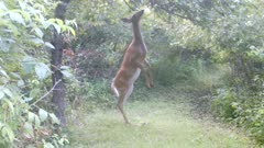 White-tailed Deer, Doe Looking, Then Walks on Hind Legs Searching Apple Tree, Finds One, Eats