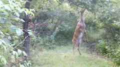 White-tailed Deer, Doe Repeatedly Standing, Searching Apple Tree, Finds One, Eats Whole