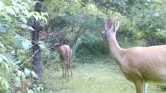 White-tailed Deer, Doe on Hind Legs Reaching Into Apple Tree, Finds Apple, Another Doe Passes By