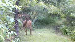 White-tailed Deer, Doe Comes From Behind Tree, Stares Hard Toward Camera