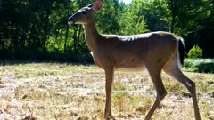 White-tailed Deer, Doe, Enters, Stops Looks Around, Bothered by Insects