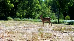 White-tailed Deer, Fawn, Runs into Frame, Stops, Looks, Listens