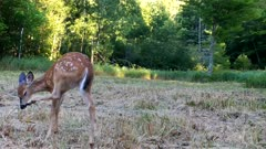 White-tailed Deer, Fawn Enters Frame, Stops, Scratches Eye With Hoof