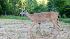 Tall White-tailed Deer, Doe Shedding Coat, Enters, Stops and Looks, Exits
