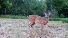White-tailed Deer, Fawn Feeding, Stops, Suddenly Looks Back