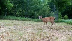 White-tailed Deer, Fawn Enters, Walks Through Frame, Stops, Feeds