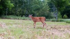 White-tailed Deer, Fawn, Walks Through Frame, Exits
