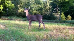 White-tailed Deer, Doe, Enters, Stands, Looks