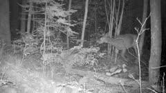 White-tailed Deer, Doe, Sneaking Through Woods At Night