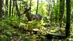 White-tailed Deer Walking Through Wooded Area, Exits