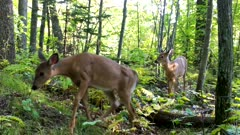 Two White-tailed Fawns, Following Doe Through Woods, Doe Off Frame, Both Exit