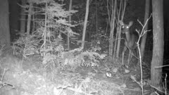 White-tailed Deer, Doe, Standing Quiet At Night, Listening