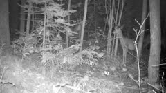 White-tailed Deer, Moving, Standing Quiet At Night, Listening, Twitching Ears