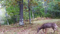 White-tailed Deer, Sleek Doe, Looking Off Frame, Moves to L, Feeds, Looks Again