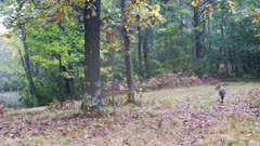Coyote, Trotting Through Wooded Forest, Watching to L of Frame