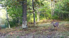 White-tailed Deer, Doe, Feeding Along Wooded Area