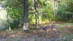 White-tailed Deer, Doe, Enters Feeding