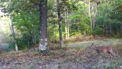 Small White-tailed Deer,  Fawn, Enters and Feeds Along Trail in Woods