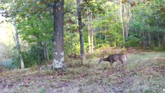 White-tailed Deer, Doe, Passing Through Wooded Area, Exits