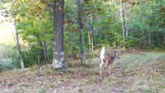 White-tailed Deer With Wounded Leg Limps Into View, Stops, Looks Back, Limps Off Far Trail