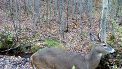 White-tailed Deer, Buck, Sniffing Autumn Air, Turns Toward Camera.