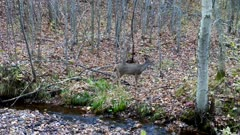 White-tailed Deer, Doe, Moving Up Hill From Stream